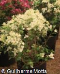 (BOGL3) Bougainvillea glabra ´Carpet White´