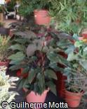 (PHRO2) Philodendron  ´Rojo Congo´