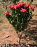(EUPU7) Euphorbia pulcherrima ´Winter Rose Early Red´