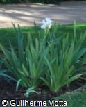 (IRAL) Iris albicans