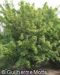 (ACTA) Acer tataricum