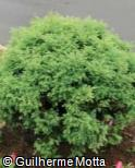 (CRJA10) Cryptomeria japonica ´Monstrosa Nana´