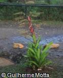 (VRPH) Vriesea philippocoburgii