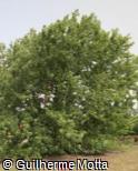 (ACSA3) Acer saccharinum