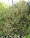 (PHAN) Phillyrea angustifolia