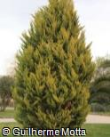 (CUMA3) Cupressus macrocarpa ´Lutea´