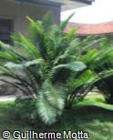 (ENFE) Encephalartos ferox