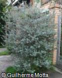 (LEFR) Leucophyllum frutescens